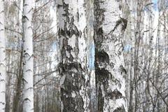 Abedules blancos en primavera Imagen de archivo
