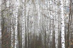 Abedules blancos en primavera Imágenes de archivo libres de regalías