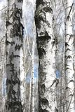 Abedules blancos en primavera Imagenes de archivo
