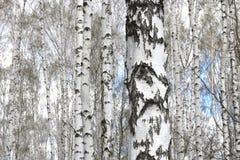 Abedules blancos en primavera Fotografía de archivo libre de regalías