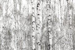 Abedules blancos en primavera Foto de archivo libre de regalías