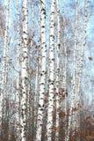 Abedules blancos en primavera Imagen de archivo libre de regalías