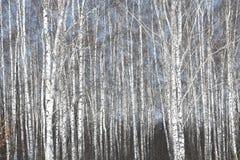 Abedules blancos en primavera Fotografía de archivo