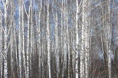 Abedules blancos en primavera en arboleda del abedul Imagenes de archivo