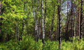 Abedules blancos en un bosque del verano Fotos de archivo