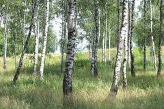 Abedules blancos en verano en arboleda del abedul Imágenes de archivo libres de regalías