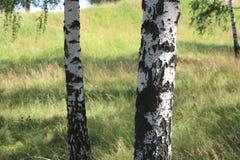 Abedules blancos en verano en arboleda del abedul Foto de archivo libre de regalías
