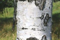 Abedules blancos en verano en arboleda del abedul Foto de archivo