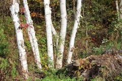 Abedules blancos - Ontario Foto de archivo libre de regalías