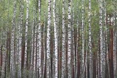 Abedules con la corteza blanca en otoño temprano Imágenes de archivo libres de regalías