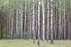 Abedules con la corteza blanca en otoño temprano Imagen de archivo libre de regalías