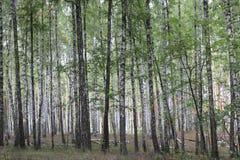 Abedules con la corteza blanca en otoño temprano Foto de archivo libre de regalías