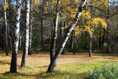 Abedules con las hojas amarillas Foto de archivo