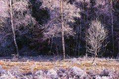 Abedules congelados Imagen de archivo libre de regalías