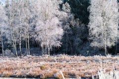 Abedules congelados Fotografía de archivo libre de regalías
