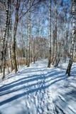 Abedules contra el cielo azul Foto de archivo libre de regalías