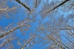 Abedules contra el cielo azul Fotos de archivo
