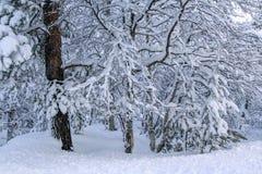Abedules cubiertos con nieve Fotografía de archivo