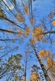 Abedules de la caída en fondo del cielo azul Foto de archivo libre de regalías