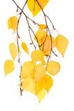 Abedules de la hoja (aislados) Foto de archivo