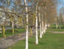 Abedules de la primavera con amentos y hojas del verde Fotos de archivo libres de regalías