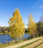 Abedules de oro del otoño Foto de archivo libre de regalías