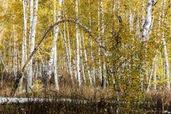 Abedules de plata en bosque del otoño Foto de archivo libre de regalías