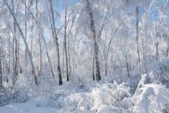 Abedules de plata en un día soleado Foto de archivo