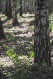 Abedules de plata hermosos con la reflexión en bosque inundado en primavera Imagen de archivo