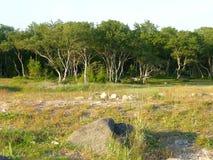 Abedules del baile en las islas de Solovetsky en la costa Fotografía de archivo
