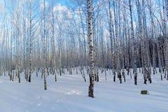 Abedules del bosque del invierno Imágenes de archivo libres de regalías