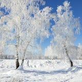 Abedules del cordón del invierno Fotos de archivo libres de regalías