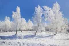Abedules del cordón del invierno Imagen de archivo