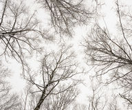 Abedules del invierno Imágenes de archivo libres de regalías