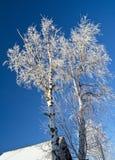 Abedules del invierno Imagenes de archivo