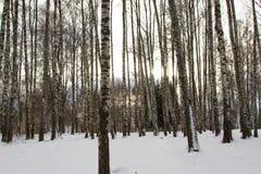 Abedules del invierno Fotografía de archivo libre de regalías