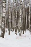 Abedules del invierno Foto de archivo libre de regalías