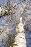 Abedules del invierno en la escarcha blanca Imágenes de archivo libres de regalías