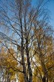 Abedules del otoño Fotografía de archivo libre de regalías
