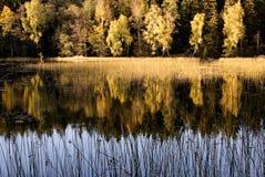 Abedules del otoño. Fotos de archivo libres de regalías