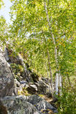 Abedules del otoño en el bosque Imagen de archivo