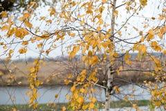 Abedules del otoño por la mañana por el río abedul con follaje amarillo de oro Fotografía de archivo