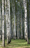 Abedules del otoño por la tarde Foto de archivo libre de regalías