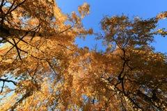 Abedules del otoño sobre el cielo azul Imagenes de archivo