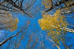 Abedules del otoño y el cielo azul Imágenes de archivo libres de regalías
