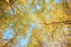 Abedules del witn del paisaje del otoño en día soleado Fotografía de archivo libre de regalías