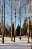 Abedules desnudos hermosos en invierno y abeto en el fondo Fotos de archivo libres de regalías