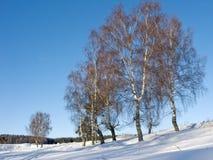 Abedules en barranco en día de invierno asoleado Imágenes de archivo libres de regalías