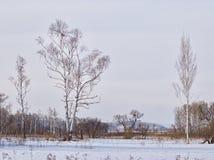 Abedules en borde de un prado en el invierno Imagen de archivo libre de regalías