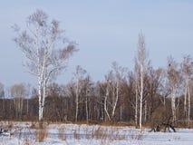 Abedules en borde de un prado en el invierno Foto de archivo